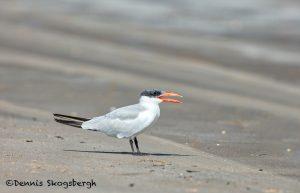 5684 Royal Tern (Thalasseus maximus), Bolivar Peninsula, Texas