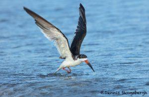 5686 Black Skimmer (Rynchops niger), Bolivar Peninsula, Texas