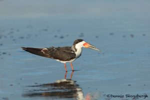 5687 Black Skimmer (Rynchops niger), Bolivar Peninsula, Texas
