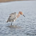 5703 Reddish Egret (Egretta-rufescens), Bolivar Peninsula, Texas