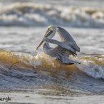 5704 Male Brown Pelican (Pelecanus occidentalis), Bolivar Peninsula, Texas