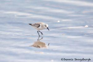 5705 Sanderling (Calidris-alba), Bolivar Peninsula, Texas