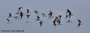 5707 Flock of Black Skimmers (Rynchops niger), Bolivar Peninsula, Texas