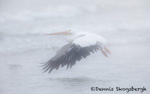 5709 Foggy Morning, American White Pelican (Pelecanus erythrorhynchos), Bolivar Peninsula, Texas