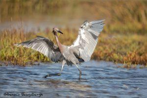 5710 Reddish Egret (Egretta rufescens), Bolivar Peninsula, Texas