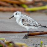 5711 Sanderling (Calidris alba), Bolivar Peninsula, Texas