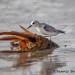 5713 Sanderling (Calidris alba), Bolivar Peninsula, Texas