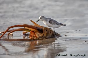 5713 Sanderling (Calidris alba), Bolivar Peninsula, Texas