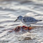 5714 Sanderling (Calidris alba), Bolivar Peninsula, Texas