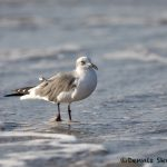 5717 Laughing Gull (Leucophaeus atricilla). Bolivar Peninsula, Texas