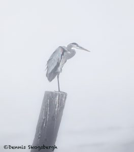 5722 Foggy Morning, Great Blue Heron (Ardea herodias), Bolivar Peninsula, Texas
