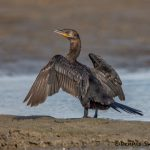 5723 Neotropic Cormorant (Phalacrocorax brasilianus), Bolivar Peninsula, Texas