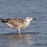 5724 Herring Gull (Larus argentatus), Bolivar Peninsula, Texas