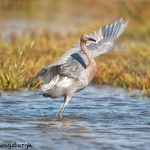 5725 Reddish Egret (Egretta rufescens), Bolivar Peninsula, Texas