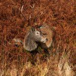7189 Deer, Glencoe, Scotland