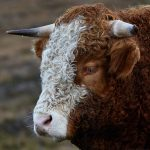 7207 Curly Haired Cow, Scotland