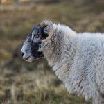 7208 Black-faced Sheep, Scotland