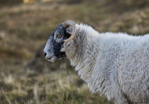 7208 Black-faced Sheep, Scotland