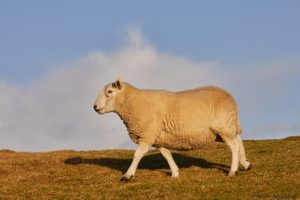 7209 Sheep, Scotland