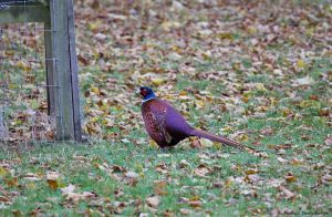 7210 Pheasant, Scotland