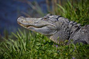 7215 Alligator, Anahuac NWR, Texas