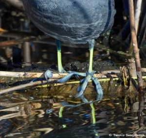 7218 American Coot, Lobed-toes, Anahuac NWR, Texas