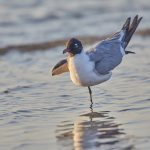 7219 Laughing Gull (Leucophaeus atricilla), Sunrise, Bolivar Peninsula, Texas