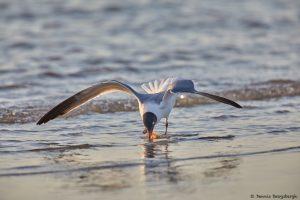 7220 Laughing Gull (Leucophaeus atricilla), Sunrise, Bolivar Peninsula, Texas