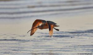 7221 Long-billed Curlew (Numenius americanus), Sunrise, Bolivar Peninsula, Texas