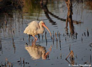 7225 White Ibis (Eudocimus albus), Sunset, Anahuac NWR, Texas
