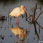 7226 White Ibis (Eudocimus albus), Sunset, Anahuac NWR, Texas