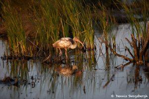 7228 Juvenile White Ibis (Eudocimus albus), Sunset, Anahuac NWR, Texas