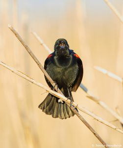 7229 Red-winged Blackbird (Agelaius phoeniceus), Anahuac NWR, Texas
