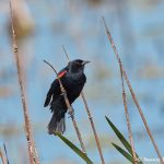 7235 Red-winged Blackbird (Agelaius phoeniceus), Anahuac NWR, Texas