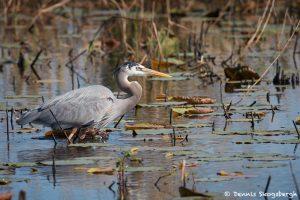7237 Great Blue Heron (Ardea herodius), Anahuac NWR, Texas