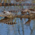 7230 Alligators, Anahuac NWR, Texas