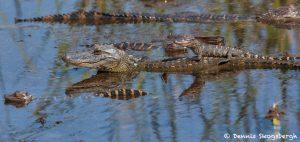 7230 Alligators, Anahuac NWR, Texas