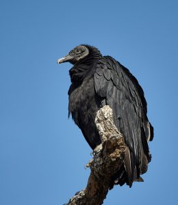 7276 Black Vulture, Hagerman NWR, Texas