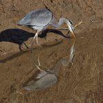 7279 Great Blue Heron (Ardea herodias), Hagerman NWR, Texas