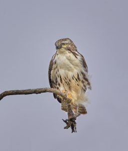 7280 Juvenile Red-tailed Hawk (Buteo jamaicensis), Hagerman NWR, Texas