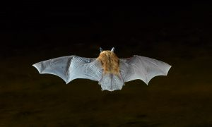 7282 Myotis Bat, Southern Arizona