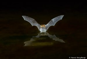 7283 Myotis Bat, Southern Arizona