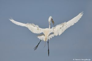 7285 Great Egret (Ardea alba), Mating Display, Smith Oaks Rookery, High Island, TX