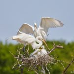7286 Great Egret (Ardea alba) Family, Smith Oaks Rookery, High Island, TX