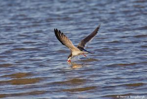 7287 Black Skimmer (Rynchops niger), Skimming, Galveston Island, TX