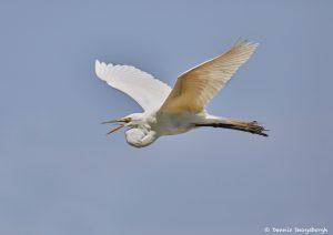 7291 Great Egret (Ardea alba), Smith Oak Rookery, High Island, Texas