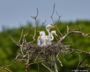 7293 Great Egret Chicks (Ardea alba), Smith Oaks Rookery, High Island, Texas