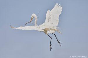 7294 Great Egret (Ardea alba), Smith Oaks Rookery, High Island, Texas