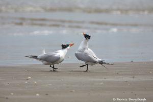 7298 Royal Tern (Thalasseus maximus), Bolivar Peninsula, Texas