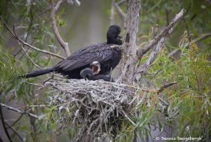 7299 Neotropic Cormorant with Chicks (Phalacrocorax brasilianus), Smith Oaks Rookery, High Island, Texas